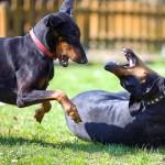 Игровая агрессия у собак