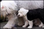 Бобтейл -взрослый и щенок