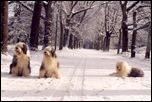 Бобтейлы зимой
