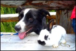 Бордер-колли с кроликом