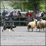 Австралийская овчарка и овцы