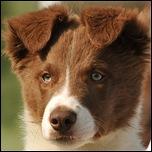 Рыжий щенок Бордер-колли