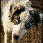 Бордер-колли с голубыми глазами