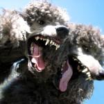 Иерархическая и половая агрессия у собак