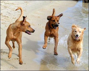 Собака - стайное животное