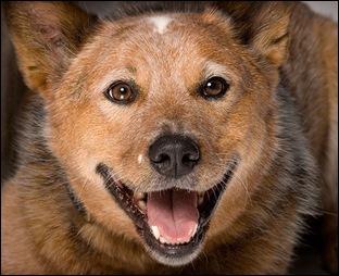 Австралийская пастушья собака улыбается